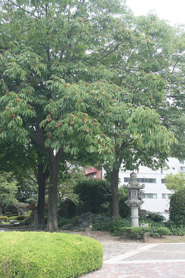 100731 トチの木  25