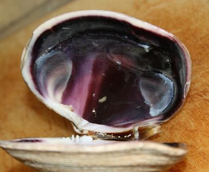 100828 ウチムラサキガイの貝の内側は紫 Web小