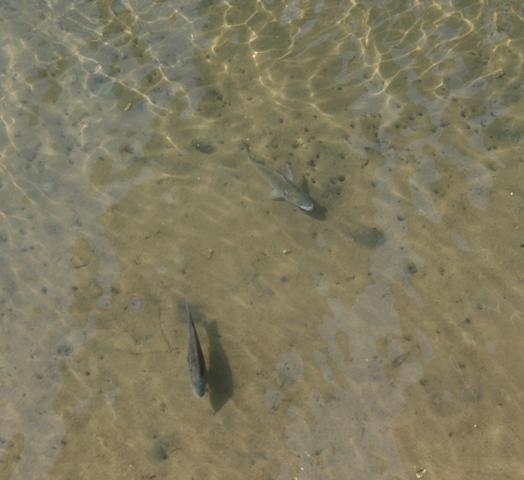 100918 南大橋の魚 Web大