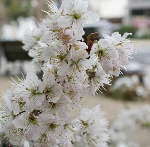 IMG_4625 桜 W
