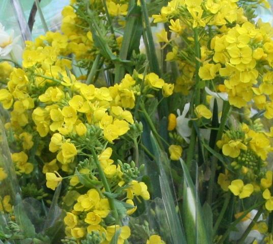 IMG_4633 菜の花 W