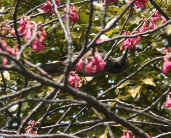 IMG_4717 彼岸桜の蜜を吸う鳥 W