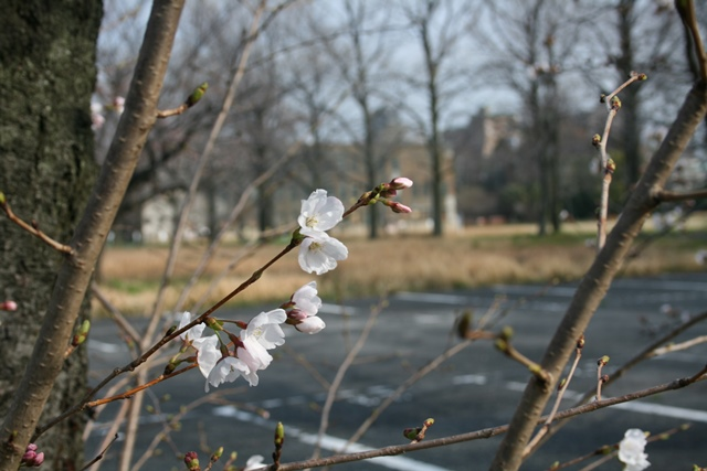 IMG_4812 広大跡地の桜 W
