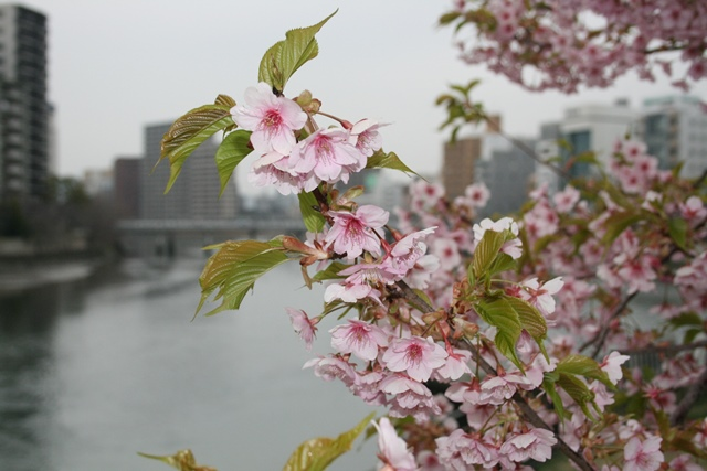IMG_4801 上柳橋東詰 山桜? W