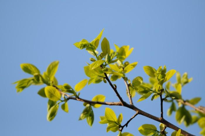 3595柿の新芽