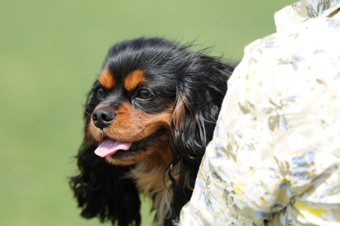 3964芽衣は、抱っこ犬
