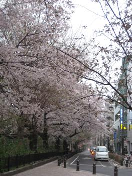 風の散歩道の桜