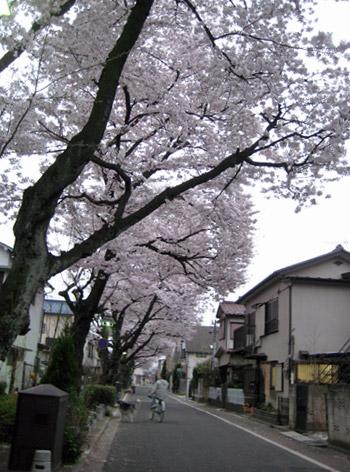 曙住宅の桜