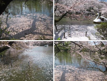 桜の花びらの海