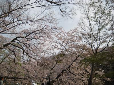 井の頭公園の桜