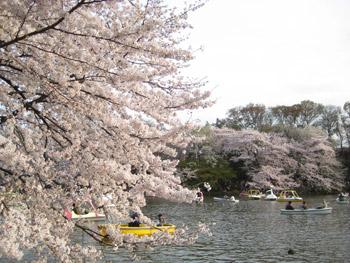 橋の袂の桜