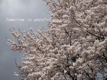 2011.4.29 満開の桜