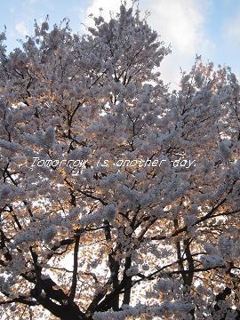 2011.4.29 満開の桜 夕陽のライトアップ
