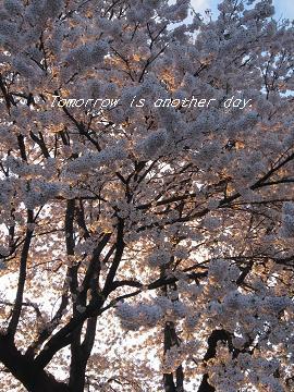 2011.4.29 満開の桜 夕陽のライトアップ Ⅱ