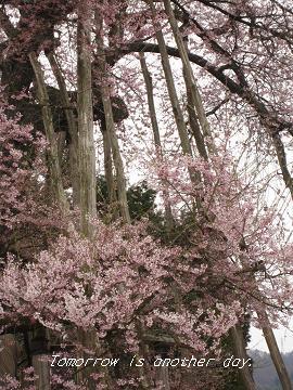 2011.4.30 伊佐沢の久保桜 アップ