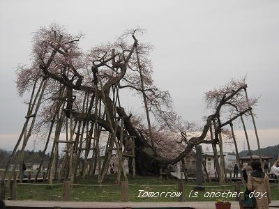 2011.4.30 伊佐沢の久保桜