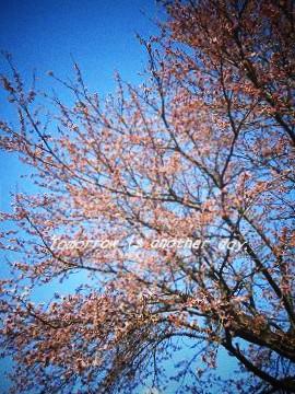 2011,4,24 桜開花 Ⅱ
