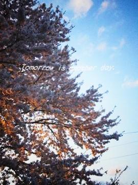 2011.4.29 満開の桜 夕陽のライトアップ トイカメラ風