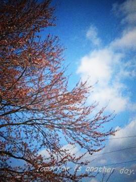 2011,4,24 桜開花