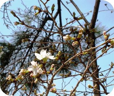 3月22日夙川