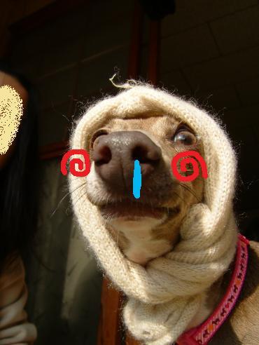 ほっかむり犬