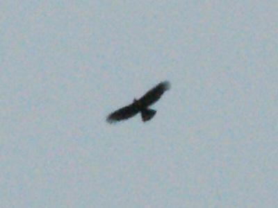 20100928ハチクマ