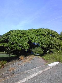110525モチモチの木