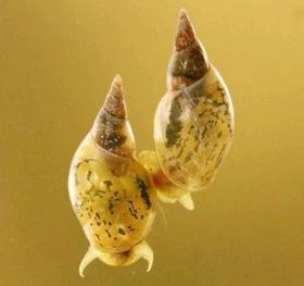 胚配置転換で巻きが逆になったヨーロッパモノアラガイ
