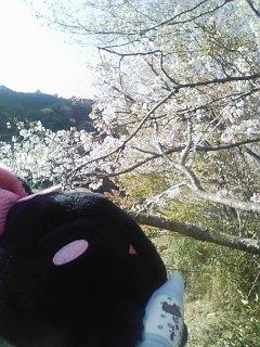 にゃんぱいあ「桜キレイだにゃ~」