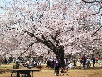 光が丘の桜2011
