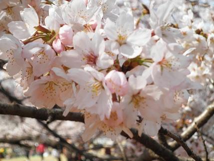 光が丘の桜2