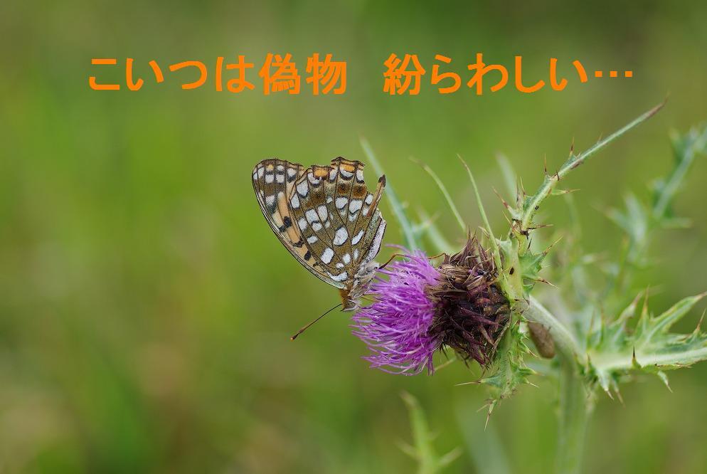 ウラギンヒョウモン 2009.09.05