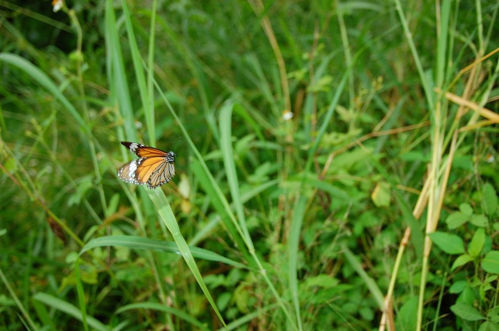 スジグロカバマダラ 2009.11.18 1138