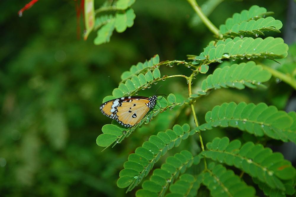 カバマダラ 2009.11.19 1107