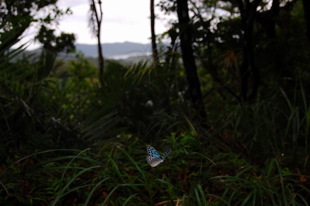 リュウキュウアサギマダラ 2009.11.19 1302