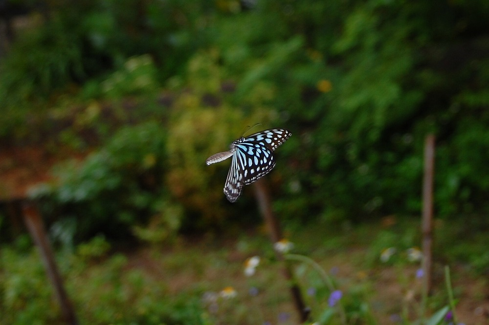 リュウキュウアサギマダラ 2009.11.19 1116