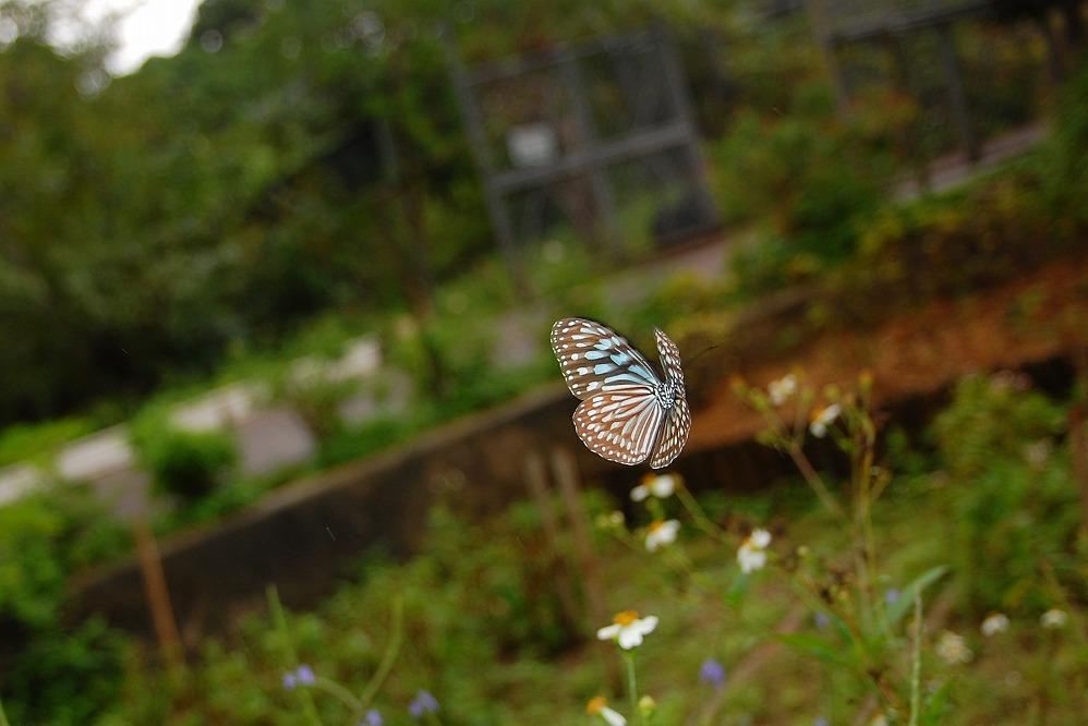 リュウキュウアサギマダラ 2009.11.19 1116 (2)
