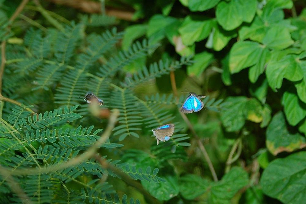 ルリウラナミシジミ 2009.11.19 1401