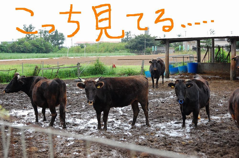 石垣牛? 2009.11.19