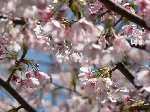 お花まつりの桜2