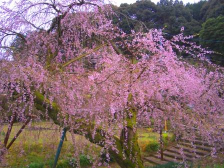 しだれ桜3CIMG0003