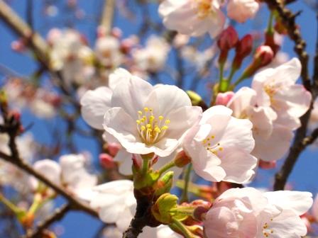 桜アップP1011760