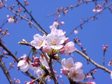 桜アップ2P1011761