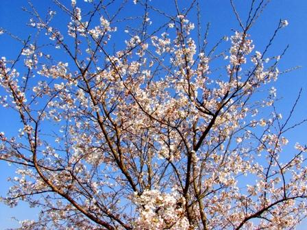 桜1P1011762