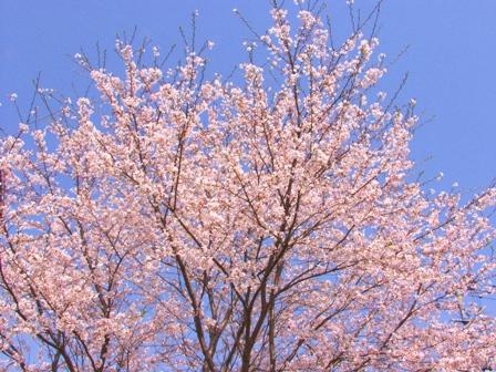 桜3P1011820