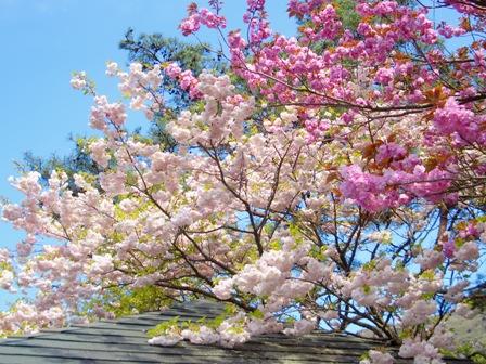 休憩所ボタン桜CIMG0051