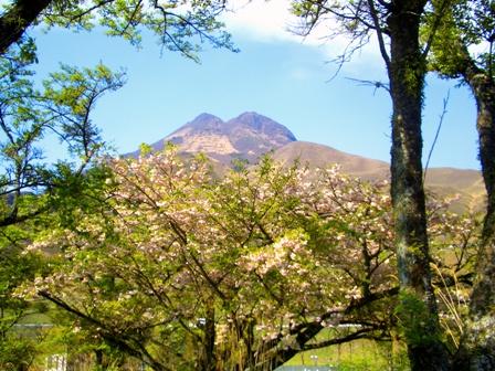 桜と由布岳CIMG0124