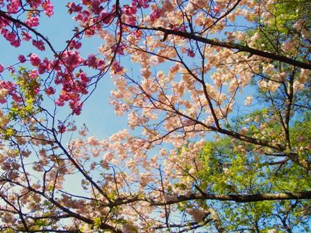桜下からCIMG0104