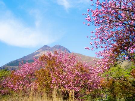 由布岳と桜CIMG0097