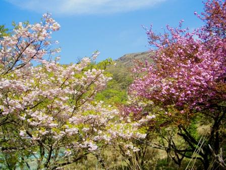 遊歩道の桜2CIMG0062
